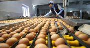 جمهوری آذربایجان ۵۰ میلیون تخم مرغ به ایران صادر می کند
