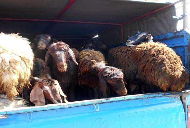 کشف ۲۲۱ رأس گوسفند قاچاق در آذرشهر