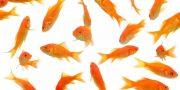 ماهی قرمز در یک زندان بلورین نمی گنجد