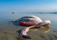 بحران زیست محیطی در میانکاله/۸هزار پرنده تلف شده است