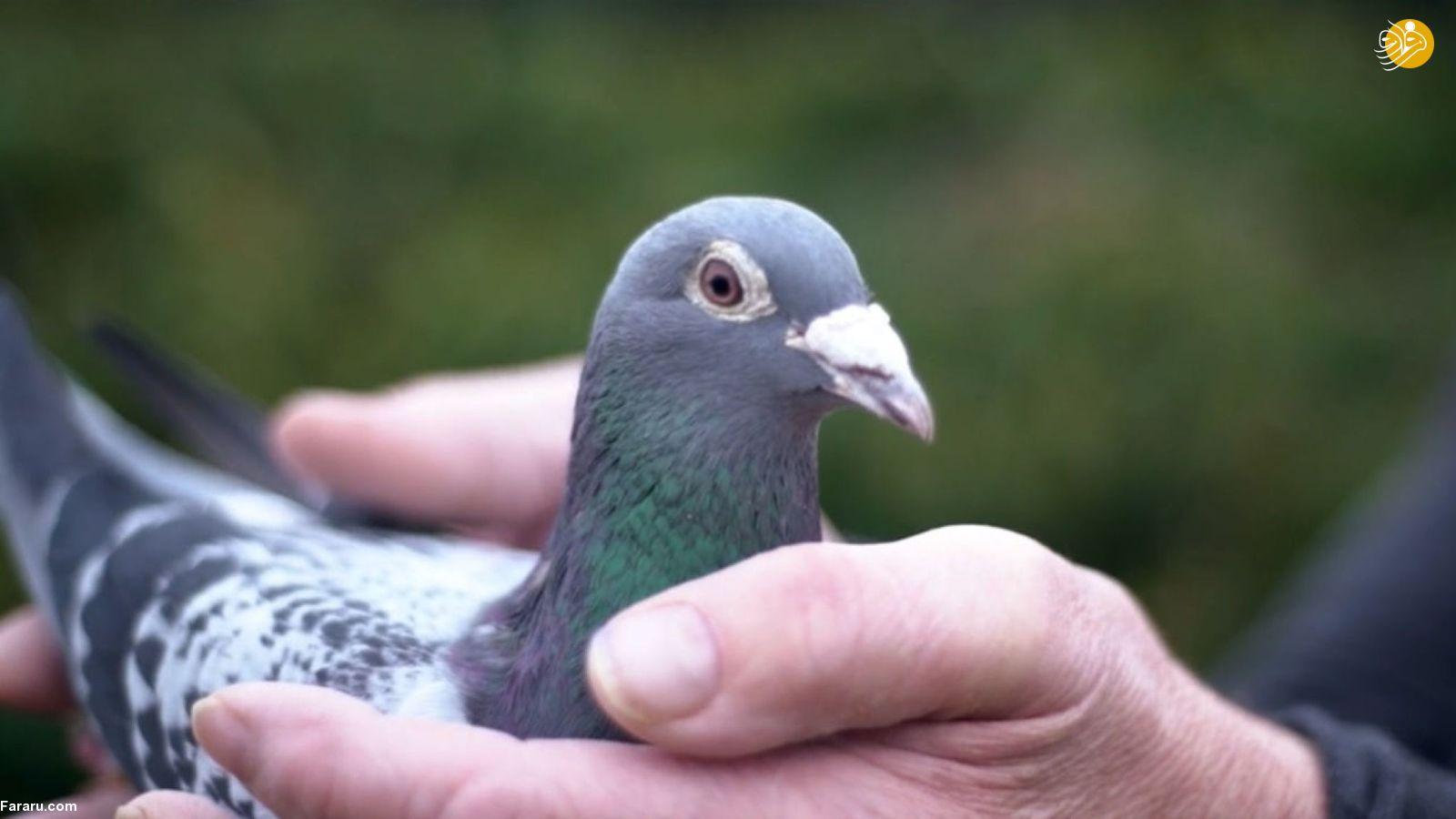 کبوتر ۱۴ میلیارد تومانی بلژیکی رکورد گران ترین کبوتر دنیا را شکست