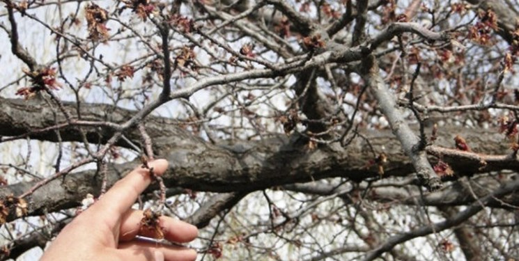 خسارت 215 میلیارد ریالی سرمای بهاره به محصولات باغی مهاباد