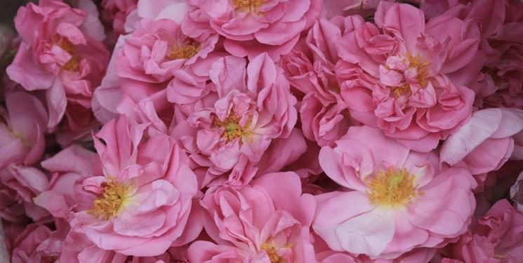 پیشبینی برداشت ۲۰۰ تن گل محمدی در ملایر